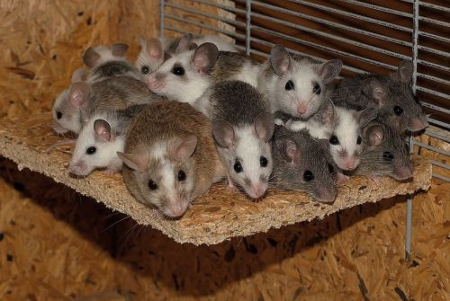 A picture of the best creepypasta Mice.